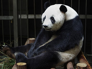 Panda Fakes Pregnancy, Broadcast of Birth Is Canceled