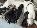 Pennsylvania Great Dane Gives Birth to 19 Puppies