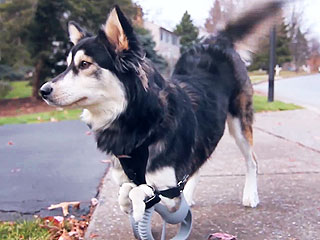 Dog Runs For the First Time Thanks to 3-D Printed Prosthetic Legs