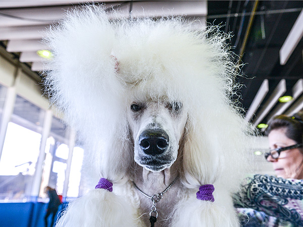 Westminster Dog Show: Behind the Scenes Photos of Dogs