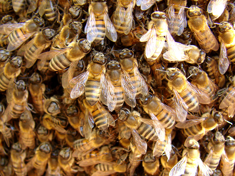800,000 Bees Swarm, Kill Man in Arizona