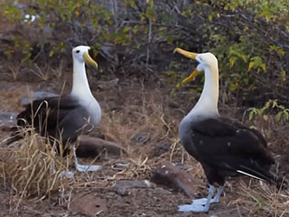 The Mating Dance of the Galapagos Albatross Is Oddly Riveting (VIDEO)