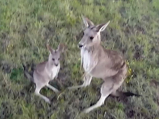 VIDEO: Watch a Kangaroo Punch a Drone Out of the Sky (Yes, Really)