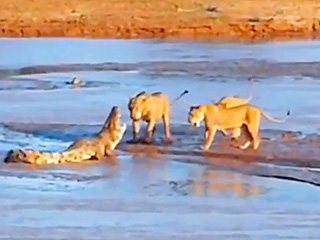 Lions vs. Crocodile: This Time, It's Personal (VIDEO)