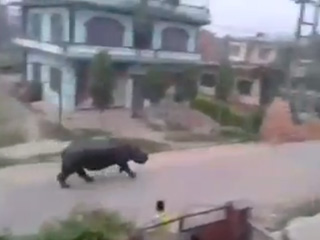 Rhinoceros Chases Motorcycles Through Nepal Town (VIDEO)