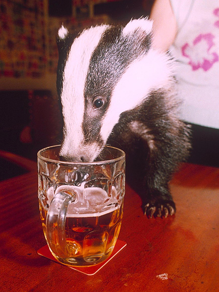 Drunk Polish Badger Found Passed out on Beach