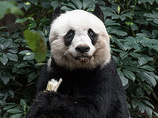 Oldest Living Panda in Captivity Celebrates 37th Birthday with Two Guinness World Records