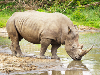 Endangered White Rhino Dies, Leaving Only Four Others Left Alive