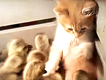 Funny Video: Kitten Gets Bombarded by Adorable Group of Duckings