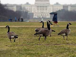 Dogs May Need to Rescue D.C. from Its Goose Poop Problem