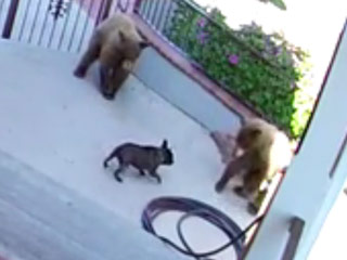 Mighty 20-Pound French Bulldog Scares Away Three Bears