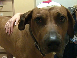 Florida Dog Survives Gun Shot to Head During Home Invasion