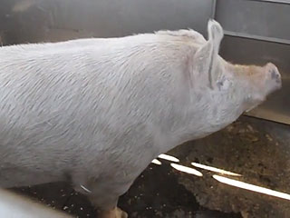 650-Lb. Wild Boar Falls off Truck, Finds Forever Home