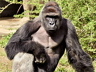 Gorilla Shot and Killed at Cincinnati Zoo After Boy, 4, Slips into Gorilla Enclosure