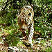The U.S. Has One Known Wild Jaguar: His Name Is El Jefe, and Here He Is on Video