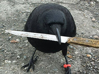 Enterprising Crow Steals Knife from Canadian Crime Scene