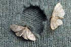 two moths with hole in sweater