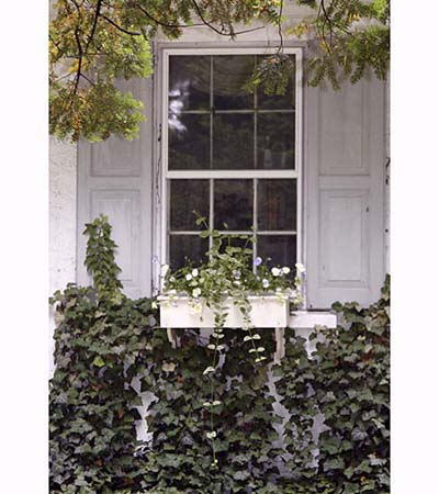 ivy crawls up the windowboxes