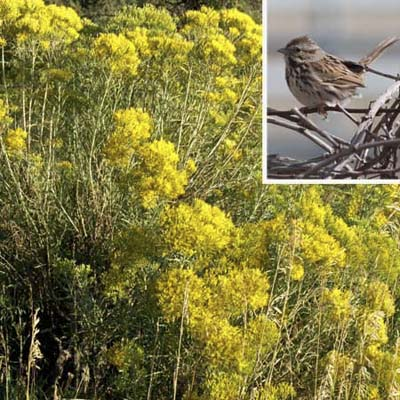 Goldenrod will attract sparrows, grosbeaks, bobwhites, juncos, and other seed-eating birds like the Song Sparrow