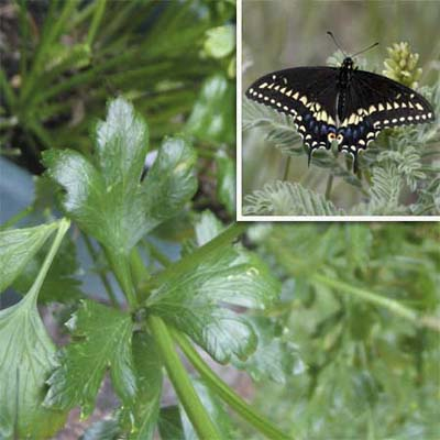 parsley leaves and black swallowtail adult with black wings featuring white bands