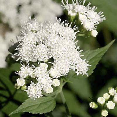 White Snakeroot; white flower heads in loose, flattened clusters
