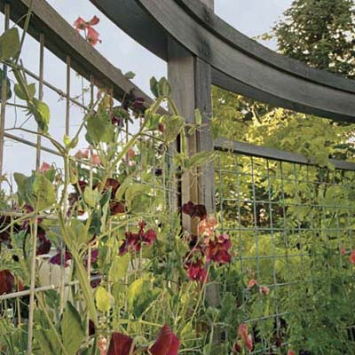 curved trellis with climbing sweet peas
