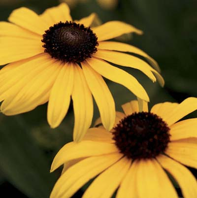 yellow-orange petals and dark brown center disk of the black-eyed susan plant