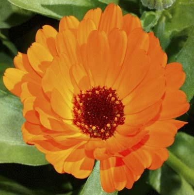 bright orange calendula bloom