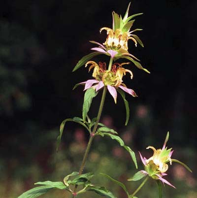 small pink and white blooms of the horsemint plant