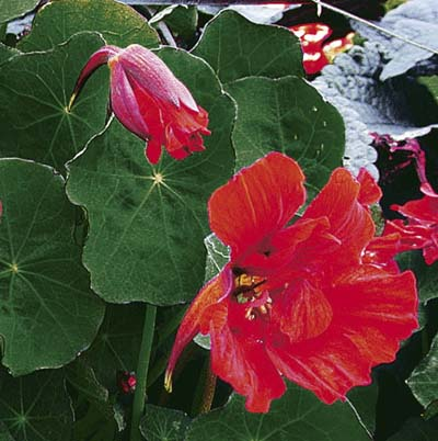 the large scarlet blooms and deep green large round leaves of edible nasturtium