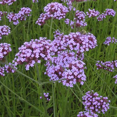 the tiny purple flowers and bright green foliage of purpletop verbena