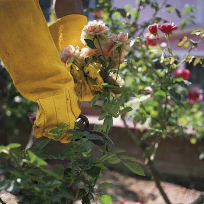 person in work gloves pruning a rose bush