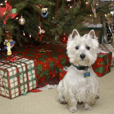 small white dog in front a a decorated christmas tree and presents