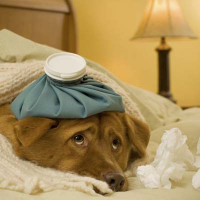 yellow dog lying under a blanket with an ice pack on its head looking sick and sad