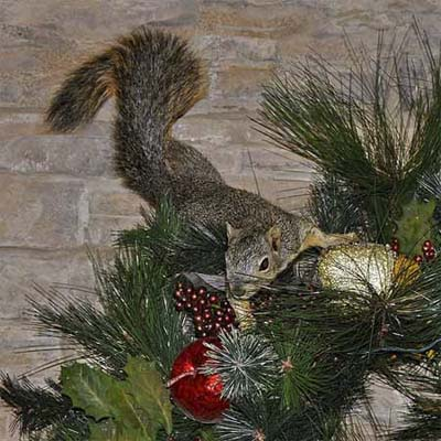 squirrel hanging on to a decorated christmas tree inside a house
