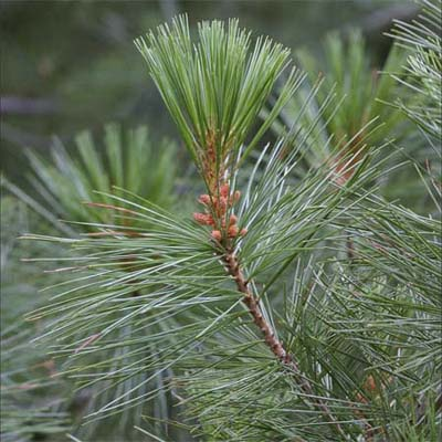 leaves of spruce pine tree