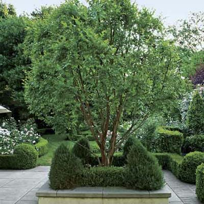 a crepe myrtle tree surrounded by shrub plantings