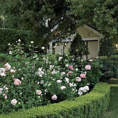 low-cut sheared shrubs hide bloomless legs of rose plants