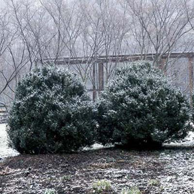 shrubs covered in snow exposed to the winter elements
