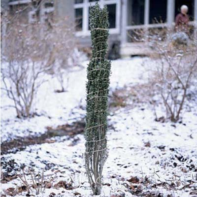 tall narrow shrub wrapped with twine to keep snow and ice from breaking off branches