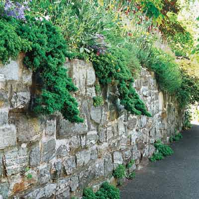 a retaining wall with Japanese garden junipers hanging over the edge