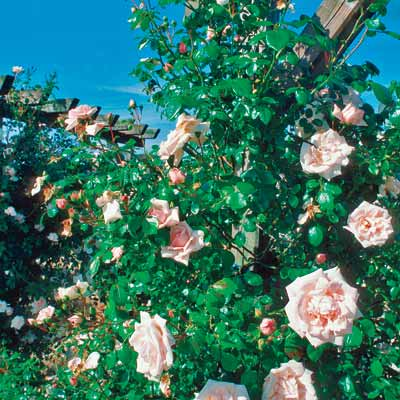 a retaining wall with 'New Dawn' climbing roses