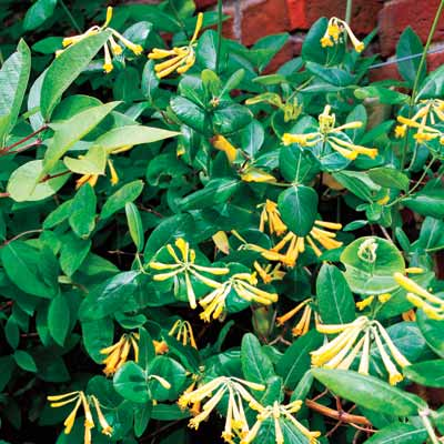 a retaining wall with Trumpet honeysuckle
