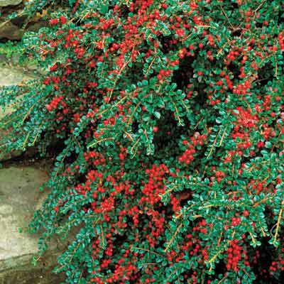 a retaining wall with rock cotoneaster