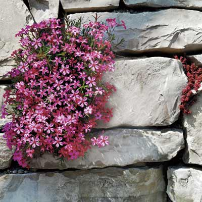 a retaining wall with creeping phlox