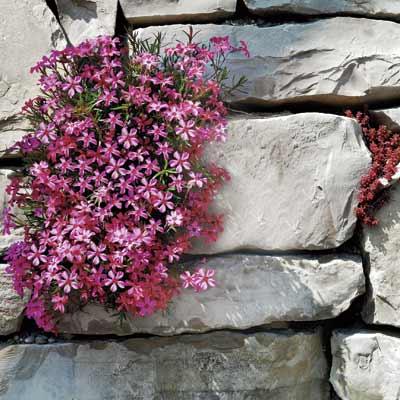 a retaining wall with creeping phlox
