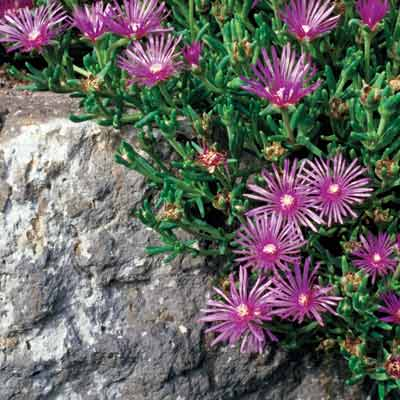 a retaining wall with ice plants