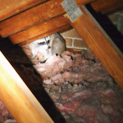 a raccoon seen in the rafters of an attic