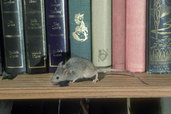 mouse running along bookshelf