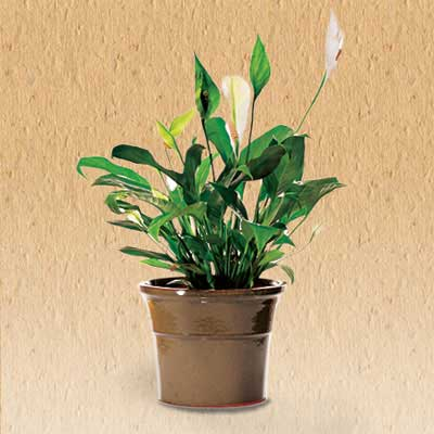 Peace lily 10 clean air plants for your home this old for Classic house plants